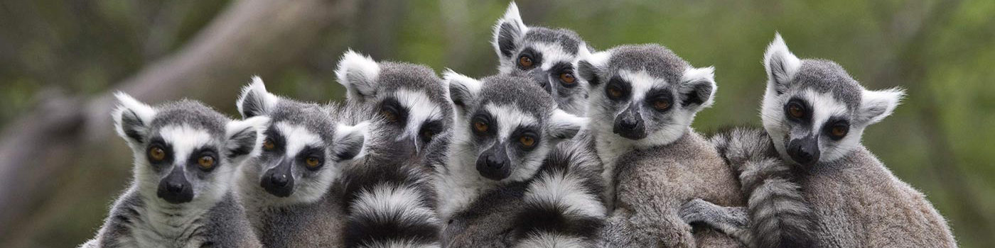 madagascar-holiday-lemurs--Banner